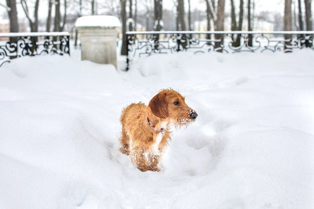Petit teckel à poil brun sur une promenade d'hiver.