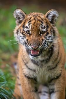 Petit tigre à l'état sauvage