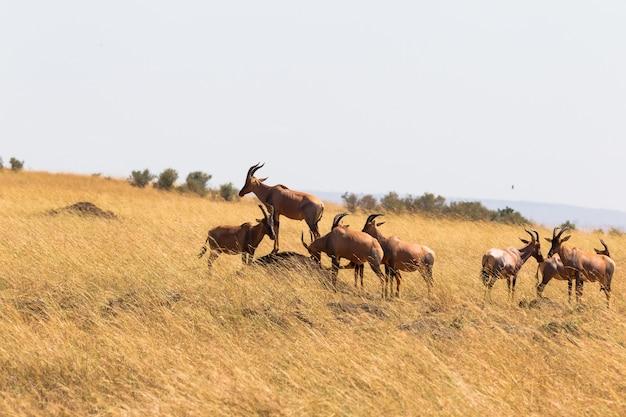 Un petit troupeau de congonies d'antilopes dans le masai mara kenya afrique