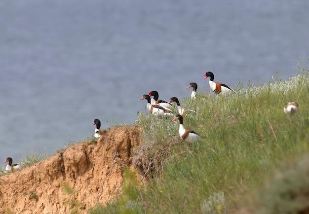 Un petit troupeau de tadornes de tadorne (tadorna tadorna) est à la recherche d'un endroit pour nicher sur une falaise de terre escarpée.