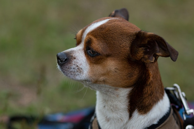 Petit visage de chien chihuahua reniflant de l'air au jour d'été