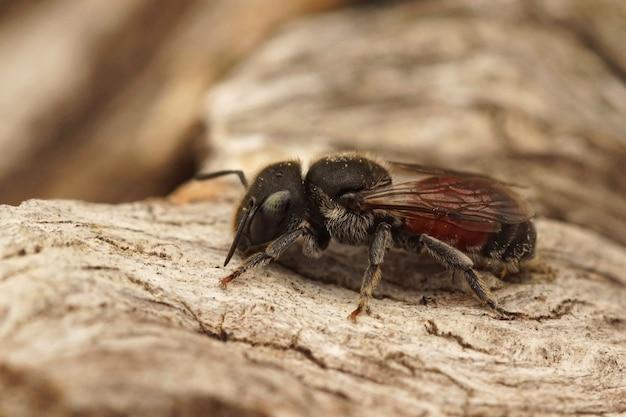 Petite abeille maçonne de couleur noire et rouge (osmia andrenoides) dans le gard, france