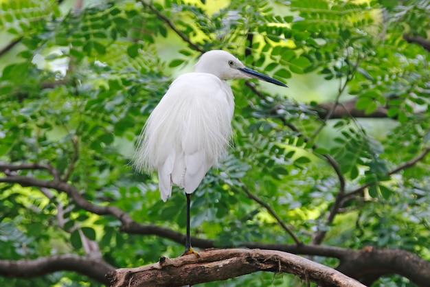 Petite aigrette egretta garzetta beaux oiseaux de thaïlande