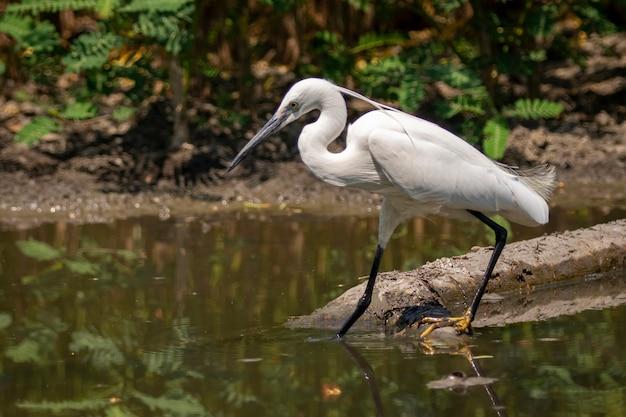 Petite aigrette à la recherche de nourriture dans le marais
