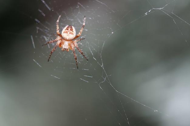 Petite araignée croisée