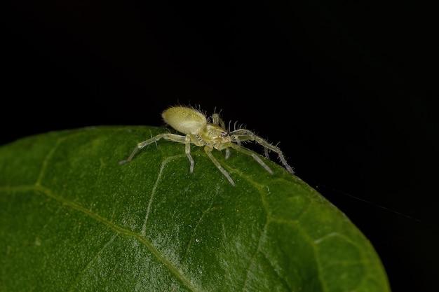 Petite araignée fantôme verte de la famille des anyphaenidae