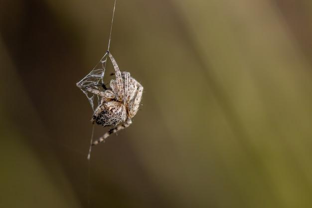Petite araignée de jardin européen dans le jardin