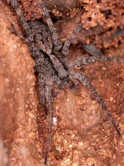 Petite araignée-loup de la famille des lycosidae