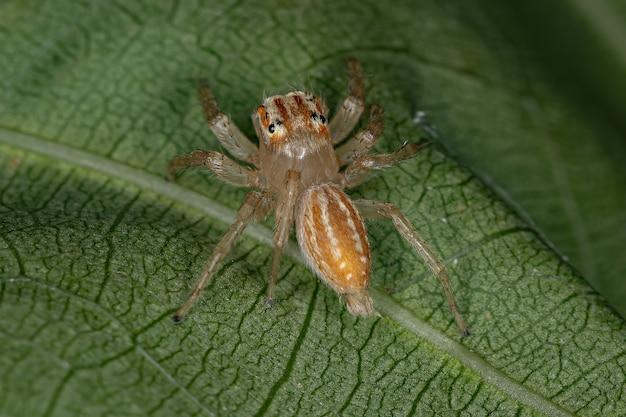 Petite araignée sauteuse du genre chira