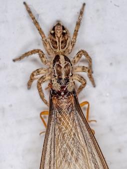 Petite araignée sauteuse pantropicale de l'espèce plexippus paykulli s'attaquant à un termite