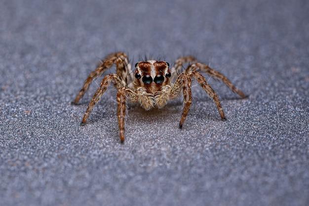 Petite araignée sauteuse pantropicale de l'espèce plexippus paykulli