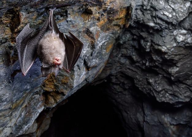 Petite chauve-souris en fer à cheval dans une grotte (rhinolophus hipposideros)