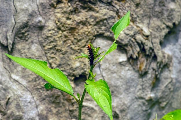 Une petite chenille noir-orange mangeant, foyer peu profond sur les feuilles vertes