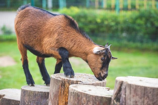 Une petite chèvre brune grimpe sur des souches en bois et mange du grain sur un fond naturel vert. vie à la ferme, zoo pour enfants.