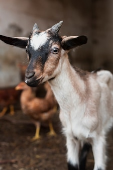 Petite chèvre cornée assise sur une grange