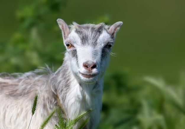 Une petite chèvre est abattue en gros plan