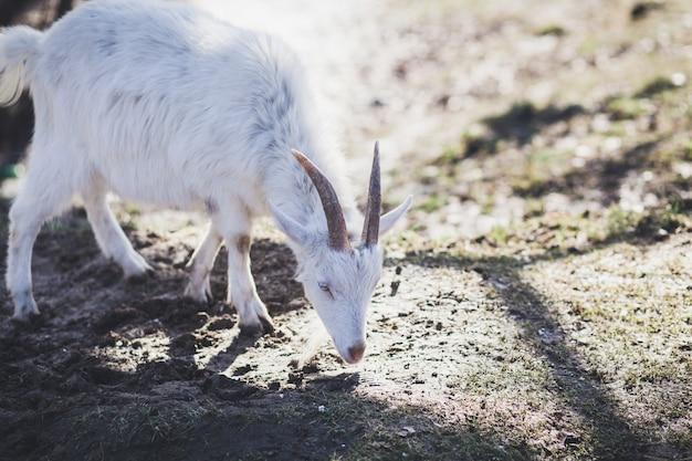 Petite chèvre à l'extérieur
