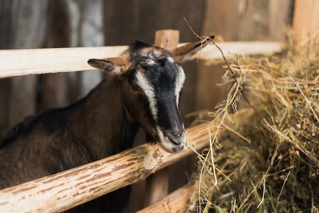 Petite chèvre à l'intérieur d'une ferme. chèvre sans cornes par la clôture en bois et avec beaucoup de foin