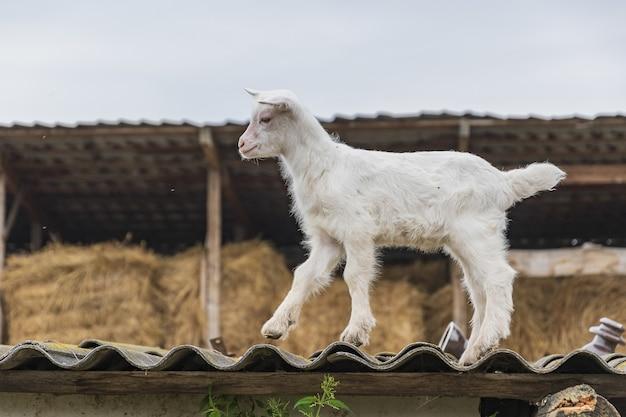 Une petite chèvre joue dans une cour de ferme un jour d'été