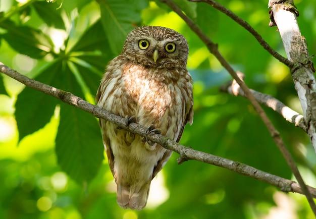 Petite chouette. l'oiseau est assis sur une branche et regarde attentivement dans les yeux. athene noctua