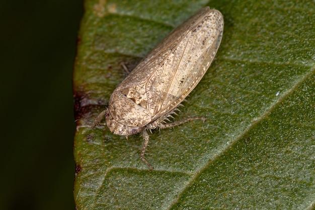 Petite cicadelle typique