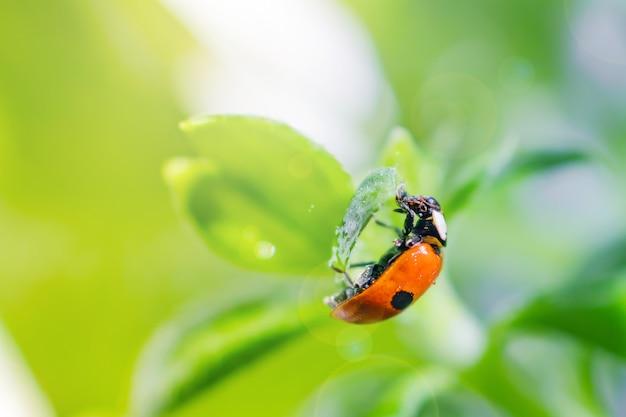 Petite coccinelle sur une feuille verte en plein soleil avec des reflets.