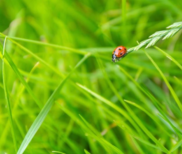 Petite coccinelle rouge rampant sur un brin d'herbe