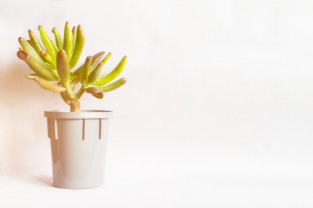 Petite crassula succulente ou plante à la tache grise