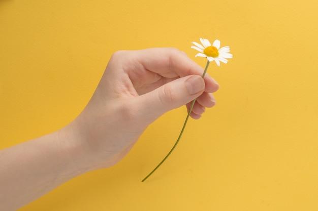 Petite daisie en main de femme sur fond jaune.