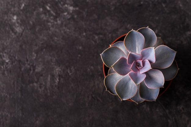 Petite echeveria succulente