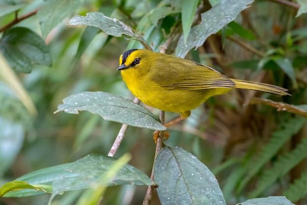 Petite fauvette jaune perchée sur une branche de buisson