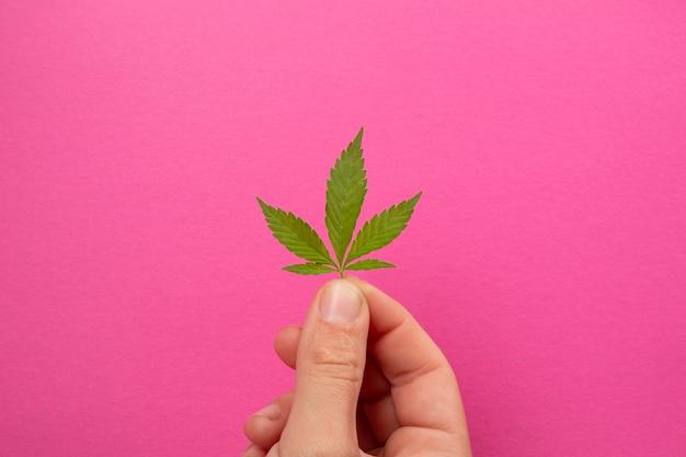 Petite feuille de cannabis en mains sur fond rose, soins de beauté à l'extrait de chanvre.