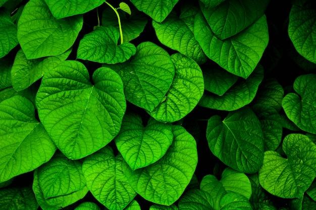 Petite feuille de lierre vert dans la nature