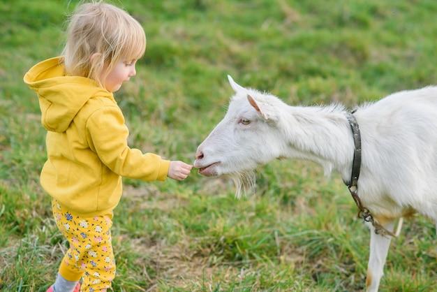 Petite fille heureuse dans des vêtements jaunes se nourrissant d'herbe une chèvre au pré.