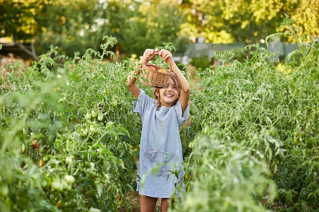 Petite fille avec panier à la main, s'amusant, récolte de tomates rouges biologiques dans le jardinage domestique, production d'aliments végétaux. culture de tomates, récolte d'automne.