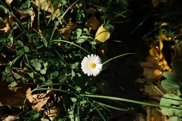 Une petite fleur blanche avec du pollen jaune fleurit dans la cour.