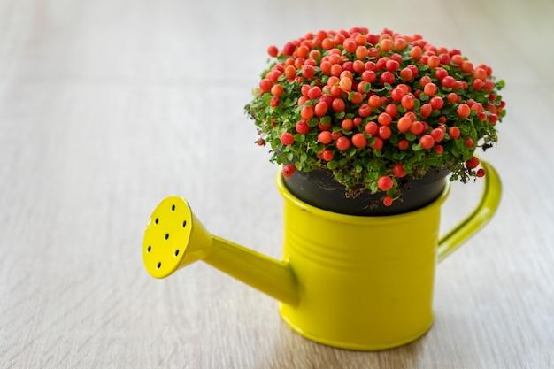 Petite fleur ornementale aux beeds rouges dans un arrosoir jaune. nertera granadensis. usine de perles de corail. plante à épingles. mousse de corail. larmes de bébé.
