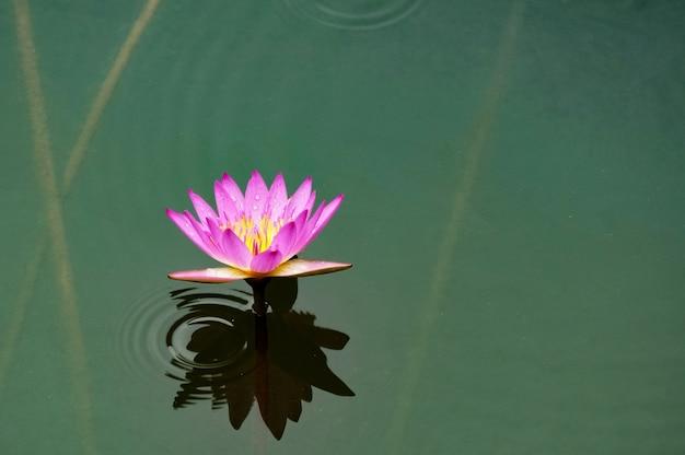 Petite fleur pourpre dans l'eau