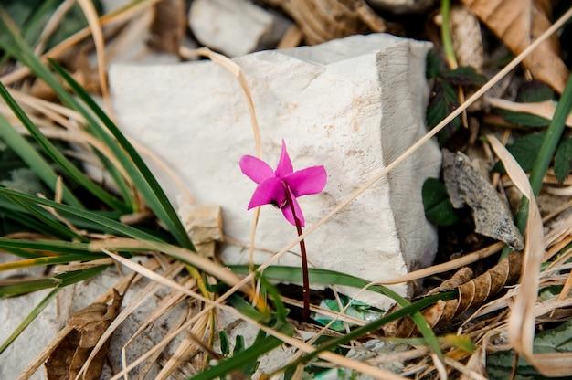 Une petite fleur rose forte pousse parmi les rochers et les feuilles vertes. conception du printemps, nouvelle vie dans la nature.