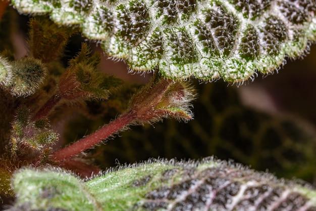 Petite fleur rouge fleur plante plante episcia close-up macro photographie