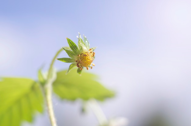 Petite fraise verte contre le ciel bleu