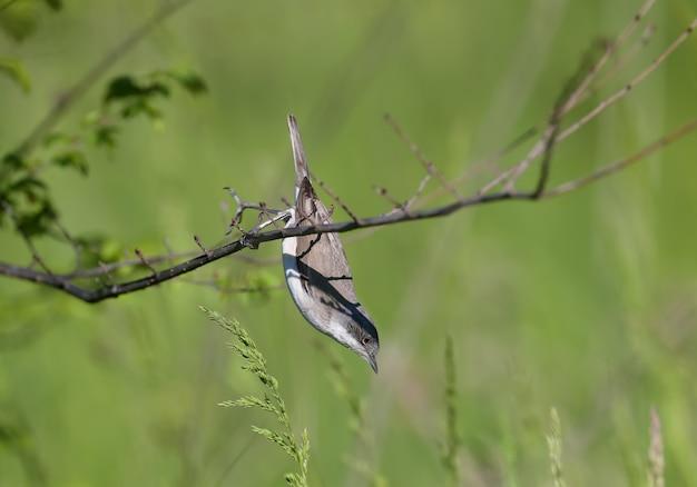 La petite gorge blanche (curruca curruca) portraits en gros plan dans l'habitat naturel