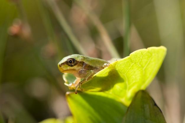 Petite grenouille furtivement hors d'une feuille sur fond vert macro photographie