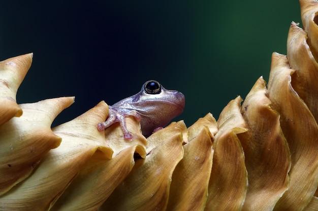 Petite grenouille litoria rubella grenouilles australiennes