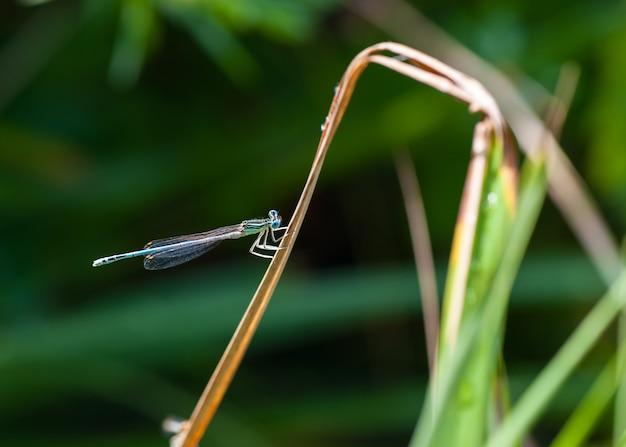 Petite libellule bleue sur les brins d'herbe