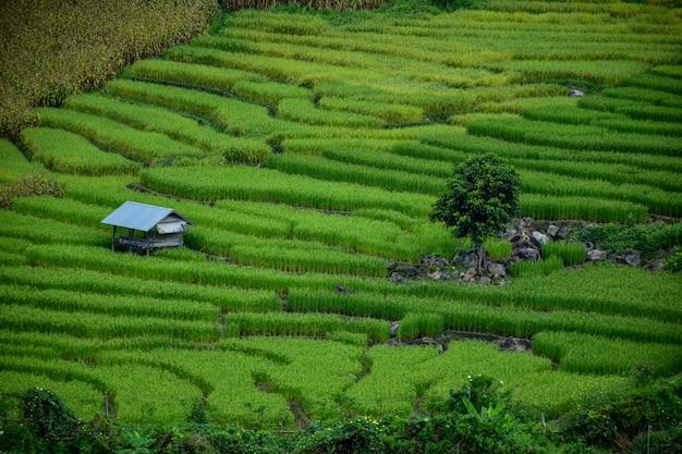 Petite maison et rizières à chiang mai, thaïlande