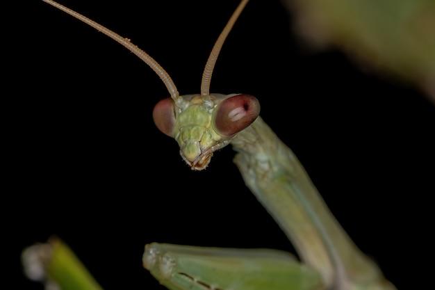 Petite mantide verte de la sous-famille des vatinae