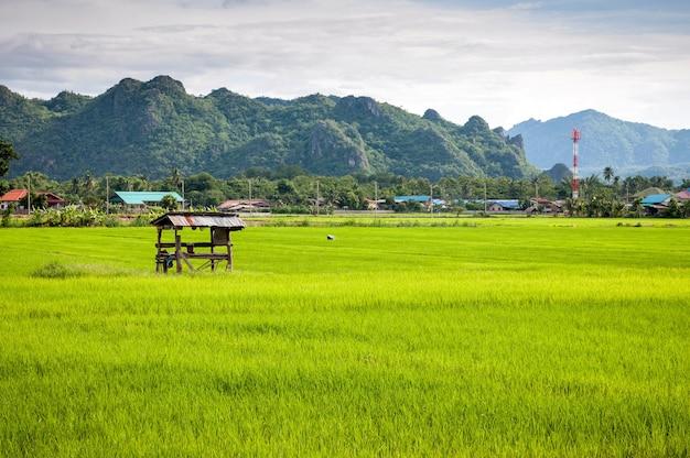 Petite masure dans le paysage de riz de la ferme de la thaïlande