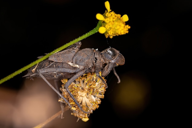 Petite mue des insectes libellules du sous-ordre des anisoptères