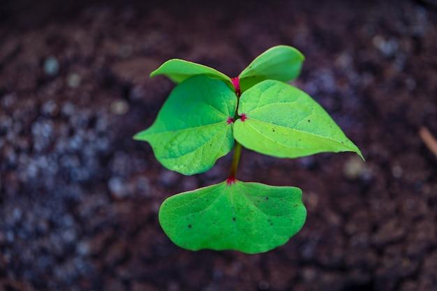 Petite plante de coton sur sol noir